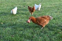 Цыплята входящие украсть яблоко стоковая фотография rf