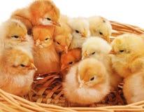 Цыплята в корзине стоковые изображения