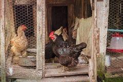 Цыплята в коттедже в дворе стоковая фотография rf
