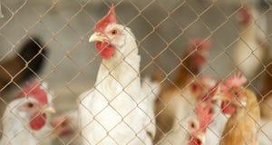 Цыплята в курятнике стоковое фото
