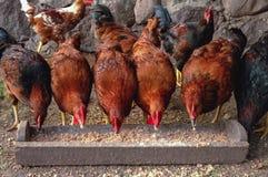 Цыплята в Польше стоковое фото