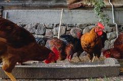 Цыплята в Польше стоковые изображения