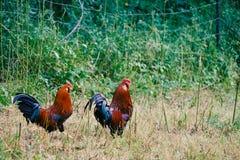 Цыплята в сельской усадьбе стоковая фотография
