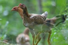 Цыплята в утре Стоковое фото RF