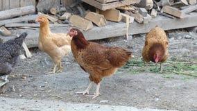 Цыплята в Hencoop сток-видео