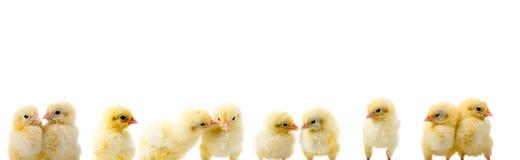 цыплята граници Стоковые Изображения RF