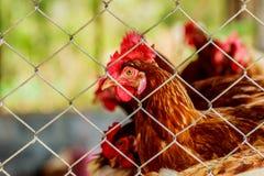 Цыплята или курицы внутри дома курятника или курицы увиденного до конца стоковое изображение