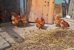 Цыплята имбиря имея потеху стоковые изображения
