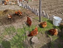 Цыплята имбиря имея потеху стоковые фотографии rf