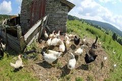 Цыплята и курицы в птицеферме сфотографировали с глазом рыб стоковые фотографии rf