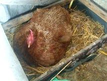 Цыплята лежат в хате Цыпленок производит яичка от яичек стоковое фото