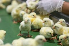 Цыплята младенца как раз принесенные на подносе, стоковые изображения rf