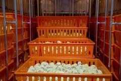 Цыплята младенца как раз принесенные на подносе, стоковая фотография rf