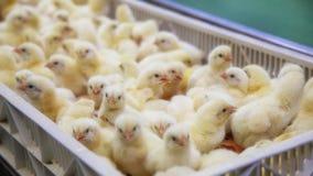 Цыплята младенца как раз принесенные на подносе стоковая фотография