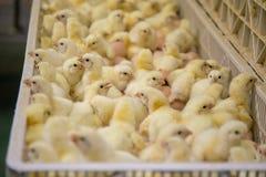 Цыплята младенца как раз принесенные на подносе стоковое изображение rf