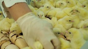 Цыплята младенца на инкубаторе фермы и сортировать от eggshells к контейнерам акции видеоматериалы