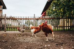 Цыплята на времени кормления стоковое фото rf