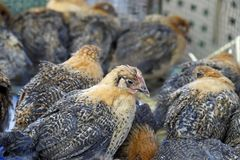 Цыплята на рынке деревни Shaxi, Юньнань, Китая стоковое изображение