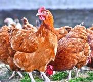 Цыплята на традиционной свободной птицеферме ряда стоковая фотография