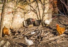 Цыплята на традиционной ферме стоковое изображение rf