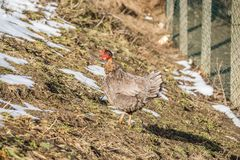 Цыплята на традиционной ферме стоковые фотографии rf