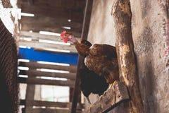 Цыплята на ферме Тонизированный, стиль, фото цвета стоковые изображения rf