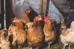 Цыплята на ферме Тонизированный, стиль, фото цвета стоковое изображение rf