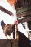 Цыплята на ферме Тонизированный, стиль, фото цвета стоковое фото rf