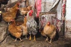 Цыплята на ферме Тонизированный, стиль, фото цвета стоковые изображения