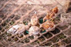 Цыплята на ферме стоковые фото