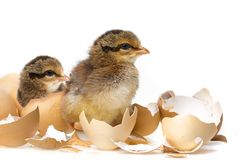 цыплята немногая стоковое фото rf