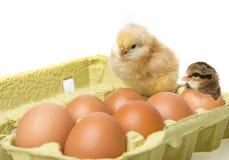 цыплята немногая стоковая фотография