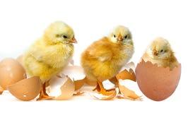 цыплята немногая стоковая фотография rf