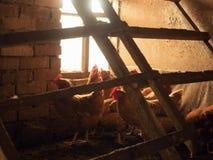 Цыплята около кирпичной стены hennery Группа в составе коричневые курицы сфотографировала около деревянной slatted нежности курят Стоковые Фотографии RF