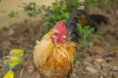Цыплята петуха ищут еда стоковое изображение rf
