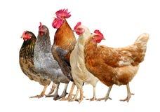 Цыплята, петух и курица изолированные на белой предпосылке стоковое фото