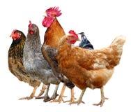 3 цыплята, петух и курицы изолированные на белой предпосылке стоковое фото rf