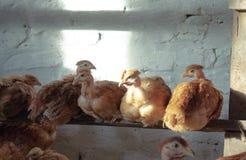 Цыплята сидят на ручке в курятнике стоковое фото rf