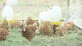 Цыплята слоя Брауна в клетках сделанных ячеистой сети есть еду на траве сток-видео