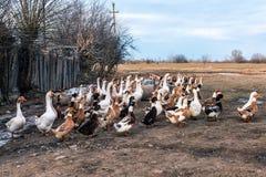 Цыплята, утки и гусыни на ферме Стоковая Фотография