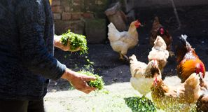 Цыплята фермера подавая в амбаре стоковые изображения