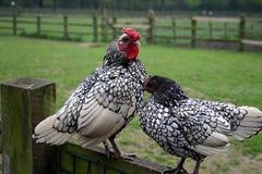 цыплята Стоковое Фото