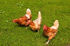 цыплята Стоковые Изображения