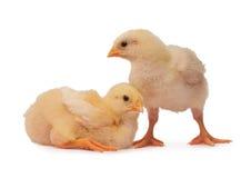 цыплята 2 стоковая фотография rf