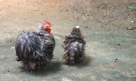 Цыплята Dominique с черно-белыми пер как любимчик стоковое изображение rf