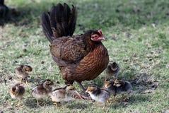 Цыплята Iniki урагана стоковое изображение rf