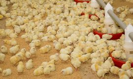 цыплята newborn стоковое фото