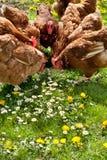 цыплятина поля стоковые изображения rf