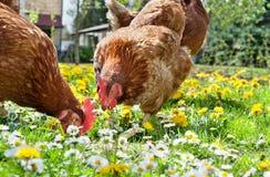 цыплятина поля стоковое фото