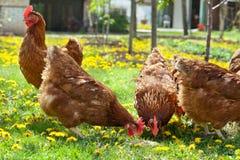 цыплятина поля стоковые фото
